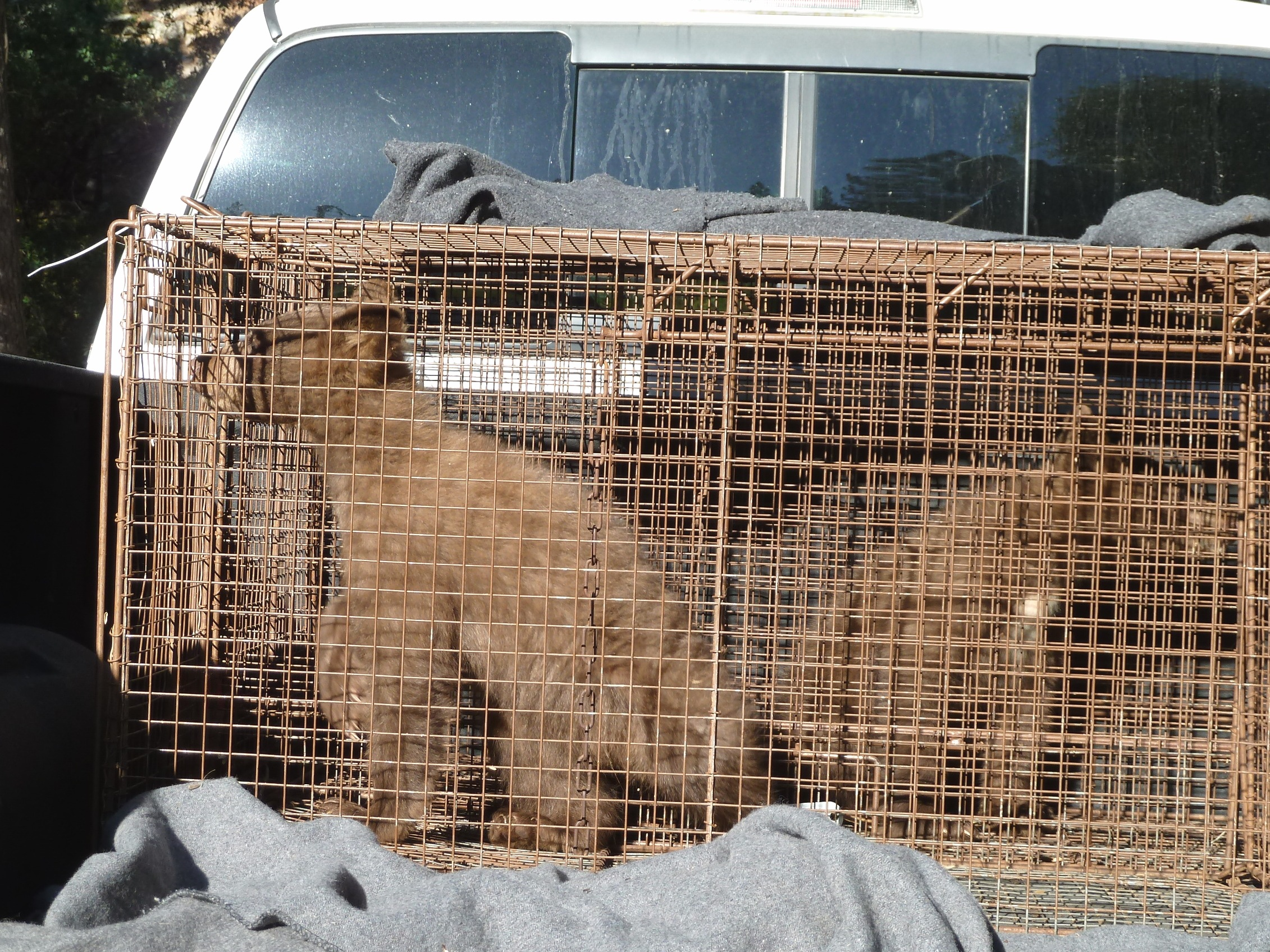 Orphaned cubs rescued in nevada city knco for Nevada game and fish