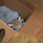 Baby Bobcat Rescued in Chips Fire