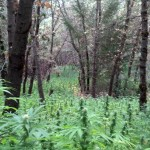 Large Marijuana Grow Discovered near Colfax