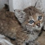 Chips the Baby Bobcat Makes Improvements