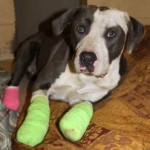 Reward Offered For Information on Injured Dog
