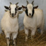 Shelter Takes Abandoned Goats