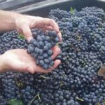 2012 Grape Harvest Good for Local Wineries