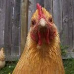 CIty Chickens- You Can Do it