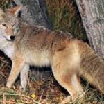 Turkey Hunter Bit by Coyote