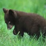 Officials Searching for Baby Bear