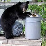 Drought Brings Out Hungry Bears
