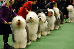 Old-English-Sheepdogs