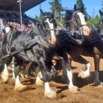 Draft Horse Classic Shines Despite Saturday Rain