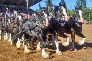 draft_horses