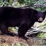 Bears On the Move in Nevada County