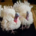 California Has Power To Pardon Turkeys