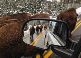 Road-full-of-buffalo