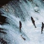 Letter writing campaign to protect wild salmon