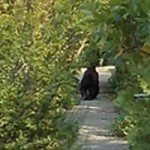 Bear Spotted on Nevada City Street