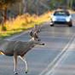 It's the Season to Be Aware of Deer