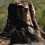 40 Trees Cut in Penn Valley