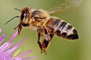 Honey-Bee-2