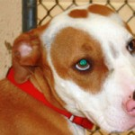 Shelter Has Deals For Pit Bull Awareness Month