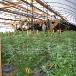DOJ makes 5 Arrests in Penn Valley Marijuana Grow