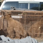 Orphaned Cubs Rescued in Nevada City