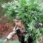 More Marijuana Raids