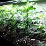 Two Arrested for Pot Garden Heist