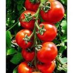 Tomato Tasting Set for Saturday