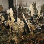 Commercial Grow Discovered on Dog Bar Road