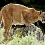 Mountain Lion Spotted Near School