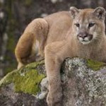 Mountain Lion Scare in Colfax