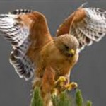 Learn about Raptors of Nevada County