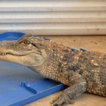 Alligator Found While Serving Warrant