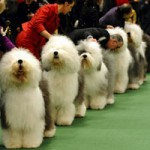 Breeds on Display at Fairgrounds' Dog Show
