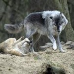 Gray Wolf Sighting In Nevada County
