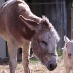 Goat and Donkey Reunited; Move to Grass Valley