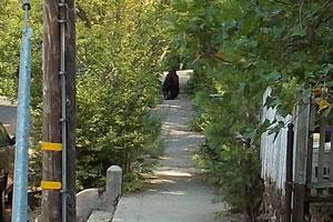 Bear_on_Prospect_Street