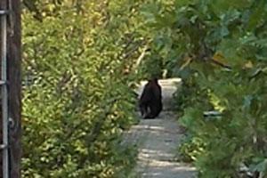Bear_on_Prospect_Street1