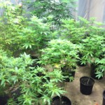Three Arrests Lots Of Pot Found Rough and Ready