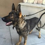 Community Support Grows for Rudiger the Police Dog
