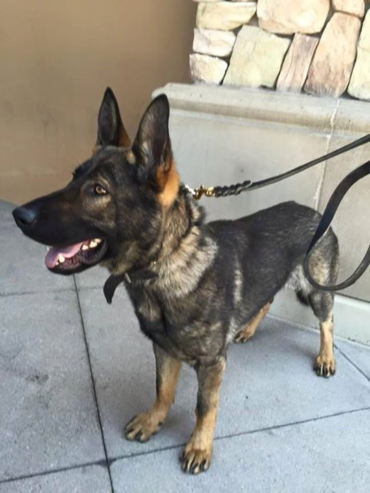 Fundraising Continues For Nevada City Police K 9 Rudiger Knco