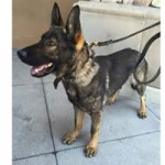 Fundraising Continues for Nevada City Police K-9 Rudiger