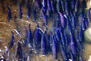 fish-spawning