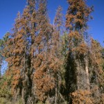 Funding Short for Treatment of Bark Beetles