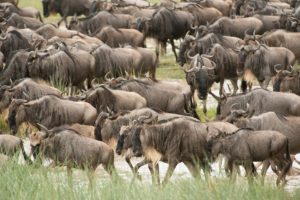 BSederquist_wildebeestmedium