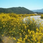 FireSafe Council Continues to Battle Scotch Broom