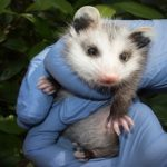 Wildlife Rescue Group Seeks Volunteers