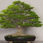 Bonsai Club Exhibiting at Home and Garden Show