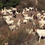 Goats and Vegetation Management Go Forward