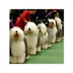 Dog Show At Nevada Co Fairgrounds This Weekend